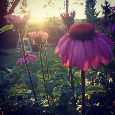 Vackra Rudbeckia