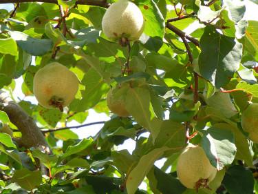 Äkta kvitten, _Cydonia oblonga_, med ludna, omogna frukter. Foto: Sylvia Svensson