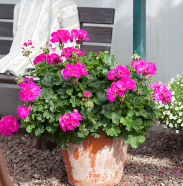 Pelargon 'Calliope Lavender Rose'