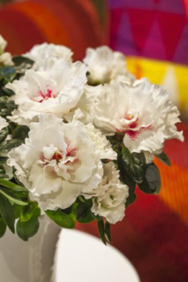 Azalea 'Charlotte' - nyhet 2013. Foto: Blomsterfrämjandet/Anna Skoog