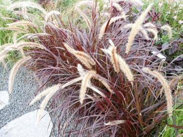 Fjäderborstgräs, Pennisetum setaceum 'Rubrum'. Foto: Sylvia Svensson