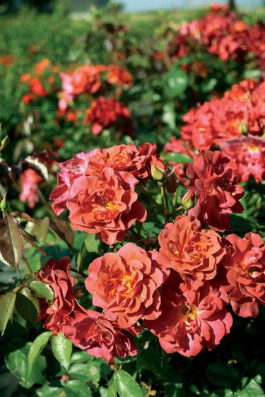Rabattrosen, _Rosa_ 'Cinco de Mayo' har en härlig färg. Foto: BoGrönt