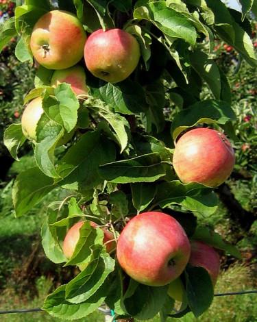 Äpple 'Fredrik' E.