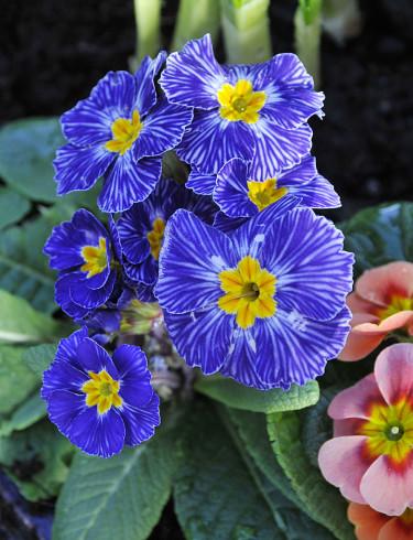 Vårprimula, _Primula vulgaris_ 'Zebra Blue' och 'Appleblossom'.