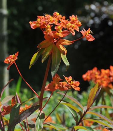Euphorbia griffitii, eldtörel Foto: Bernt Svensson