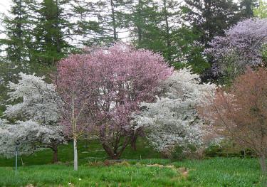 Botans körsbärsskog