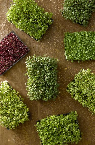 _Lepidium sativum_, smörgåskrasse, färdig att hamna på mackan! Foto: Floradania