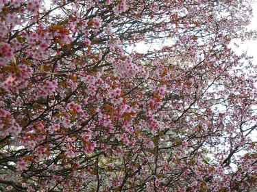 _Prunus nipponica_