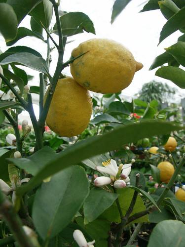 Citron i kruka. Foto: Sylvia Svensson