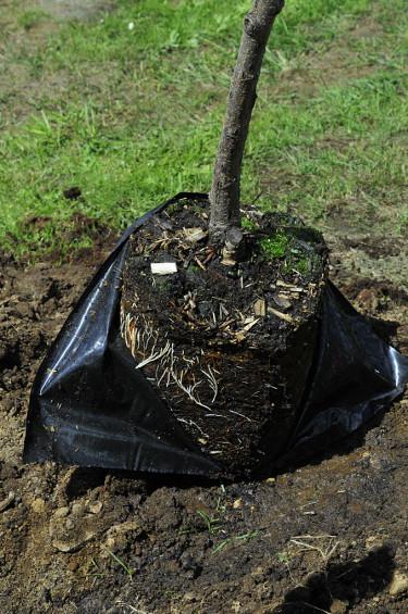 Ta bort krukan eller plasten runt trädets rötter. Foto: Bernt Svensson
