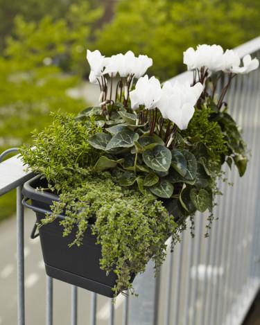 Cyklamen fungerar utmärkt utomhus, den klarar det ända fram tills det blir frost. Foto: Floradania