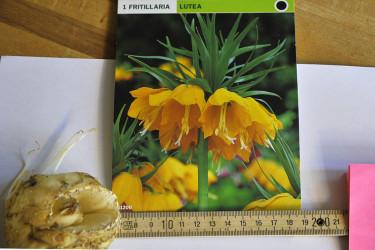 Planteringsdjup = 3 x lökens höjd. Kejsarkrona ca 20 cm djupt. OBS! Hålet i mitten på Fritillaria-löken!