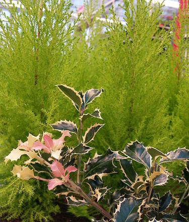 Ädelcypress, _Chamaecyparis lawsoniana_, 'Gold Crest' med järnek, _Ilex_ 'Argenteo-marginata', i förgrunden. Foto: Sylvia Svensson