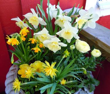 Gör vackra arrangemang av de drivna vårblommorna! Foto: Sylvia Svensson