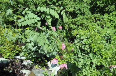 **En dvärgskruvrobinia med vildskott.**  Till vänster de borttagna, raka vildskotten med stora blad och grova, taggiga grenar, till höger den lilla skruvrobinian. Foto: Bernt Svensson