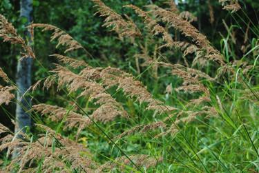 Gräs passar i naturträdgården, här begrör, _Calamagrostis epigeios_.