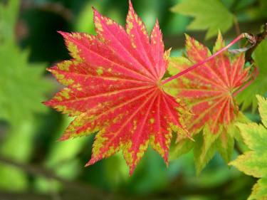 _Acer japonicum_ 'Aureum' i höstskrud. Foto: Bernt Svensson