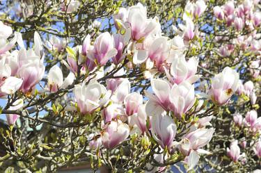 Magnolia x soulangeana Foto: Bernt Svensson