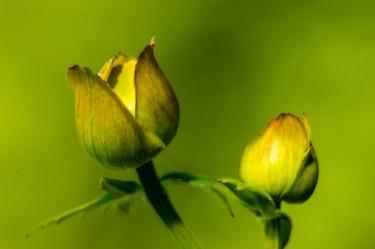 Även här är det smörboll, en av de växter som Geert tycker att det är svårt att misslyckas med att ta en bra bild på.