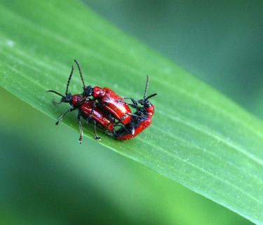Liljebaggar på äventyr. Foto: Bernt Svensson