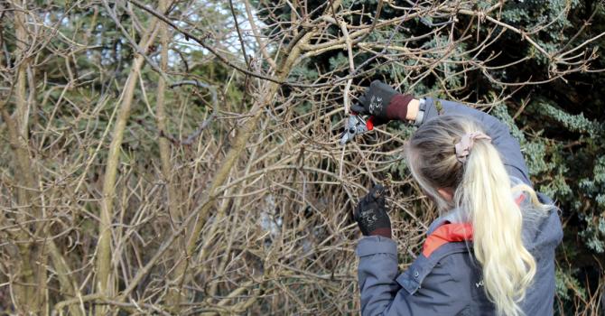 Beskär buskar och träd på vårvintern!