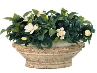 Gardenia jasminoides. Foto: Floradania