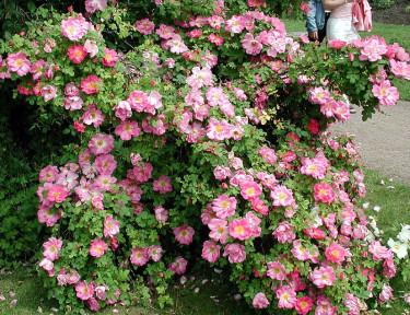 Buskros _Rosa_ 'Marquerite Hilling' syn. _'Pink Nevada'_.Foto: Sylvia Svensson