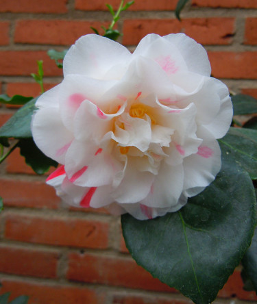 _Camellia japonica_ 'Extravaganza' Foto: Sylvia Svensson