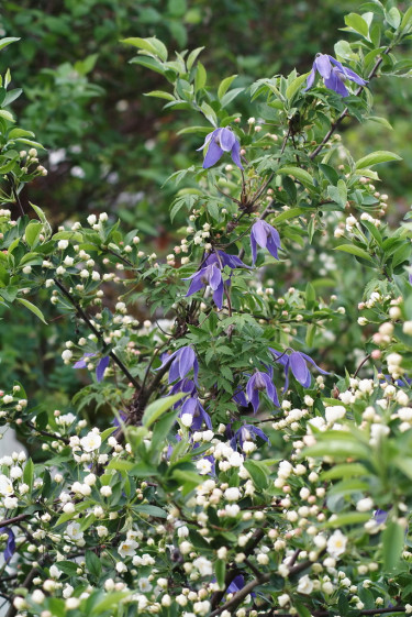 Alpklematis 'Cyanea' planterad invid en bukettapel.