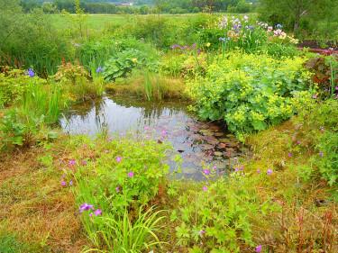 En damm med näckrosor, iris, jättedaggkåpa med flera. Foto: Sylvia Svensson