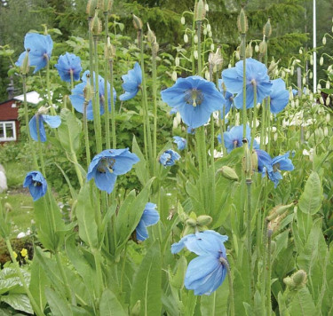**2. Blå bergvallmo**, _Meconopsis betonicifolia_ ´Lingholm´