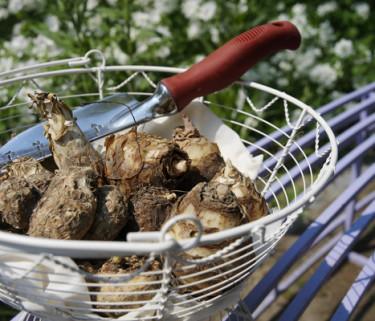 Du har chans att vinna ett stort paket med blandade vårblommande lökar. Foto:Blomsterfrämjandet/IBC