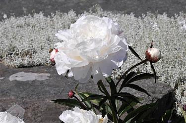 Luktpion, _Paeonia lactiflora_ 'Shirley Temple'. Foto: Sylvia Svensson