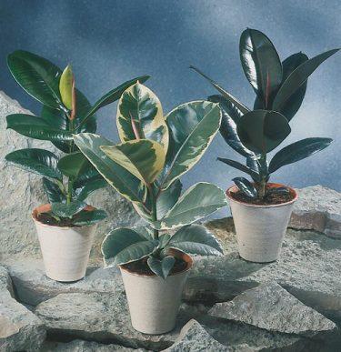 _Ficus elastica_, **fönsterfikus**