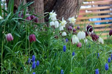 Kungsängsliljor, narcisser och pärlhyacinter! // Foto: Anna Theorin