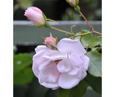Rosa 'New Dawn'. Foto: Sylvia Svensson