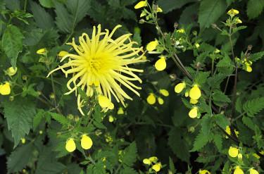 _Calceolaria mexicana_ 'Gold Purse' och dahlia 'Gryson Yellow Spider'  Foto: Bernt Svensson