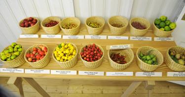 De minsta äpplena... Foto: Sylvia Svensson
