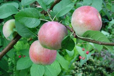Hägrande äppelskörd! Foto: Sylvia Svensson