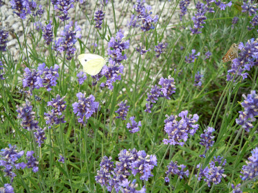 Fjärilar i lavendeln. Foto: Sylvia Svensson