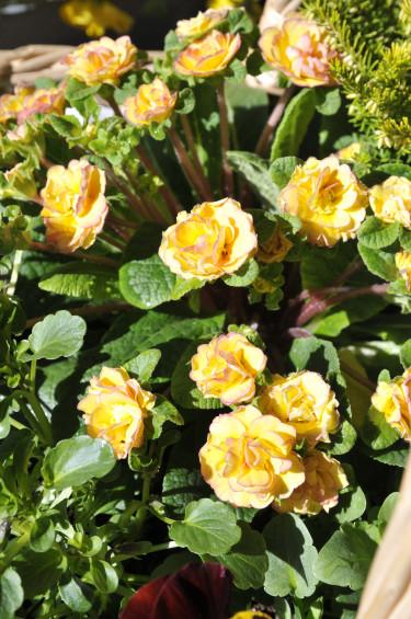 Primula vulgaris 'Ken Dearman'. Foto: Sylvia Svensson