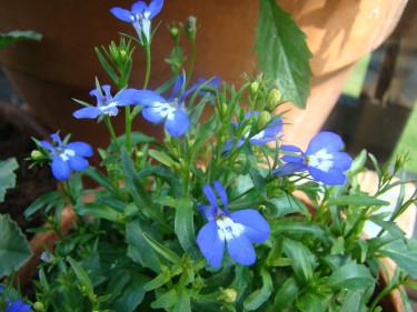 Lobelia är en av de riktigt klarblå sommarblommorna.  Foto: Katarina Kihlberg