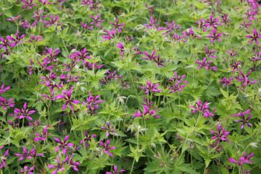 Nävan _Geranium psilostemon_ 'Catherine Deneuve' är mattbildande. Foto: CNB New Plants