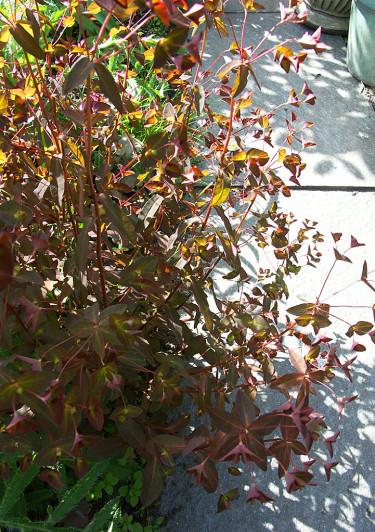 Mandeltörel, _Euphorbia amygdaloides_, i solgasset. Foto: Sylvia Svensson