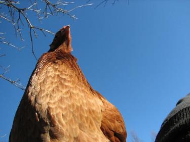 Det är något fel på min kamera, det blir bara bilder på höns hur jag än gör!  Foto: Myosotis