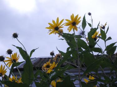 Jordärtskockan blommar ofta långt in på hösten. Foto: Sylvia Svensson
