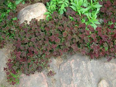 _Trifolium repens_ 'Purpurascens'. Foto: Bernt Svensson