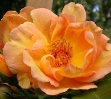 Vackert gyllene Maigold är skuggtålig och remonterar hela sommaren.  Foto:  [Odla.nuShop](http://erbjudande.odla.nu/rr/)