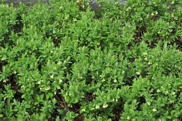 Blåbärstry som släntplantering.  Foto: Bernt Svensson