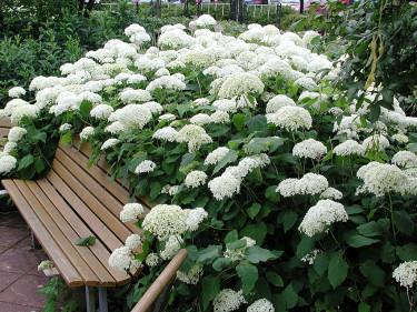 _Hydrangea arborescens_ 'Annabelle' växer så in i bänken! Foto: Sylvia Svensson